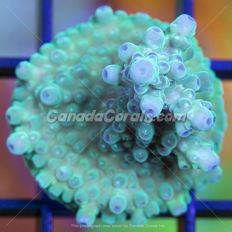 Coral In Stock  (April, 11 2014) IMG_0130