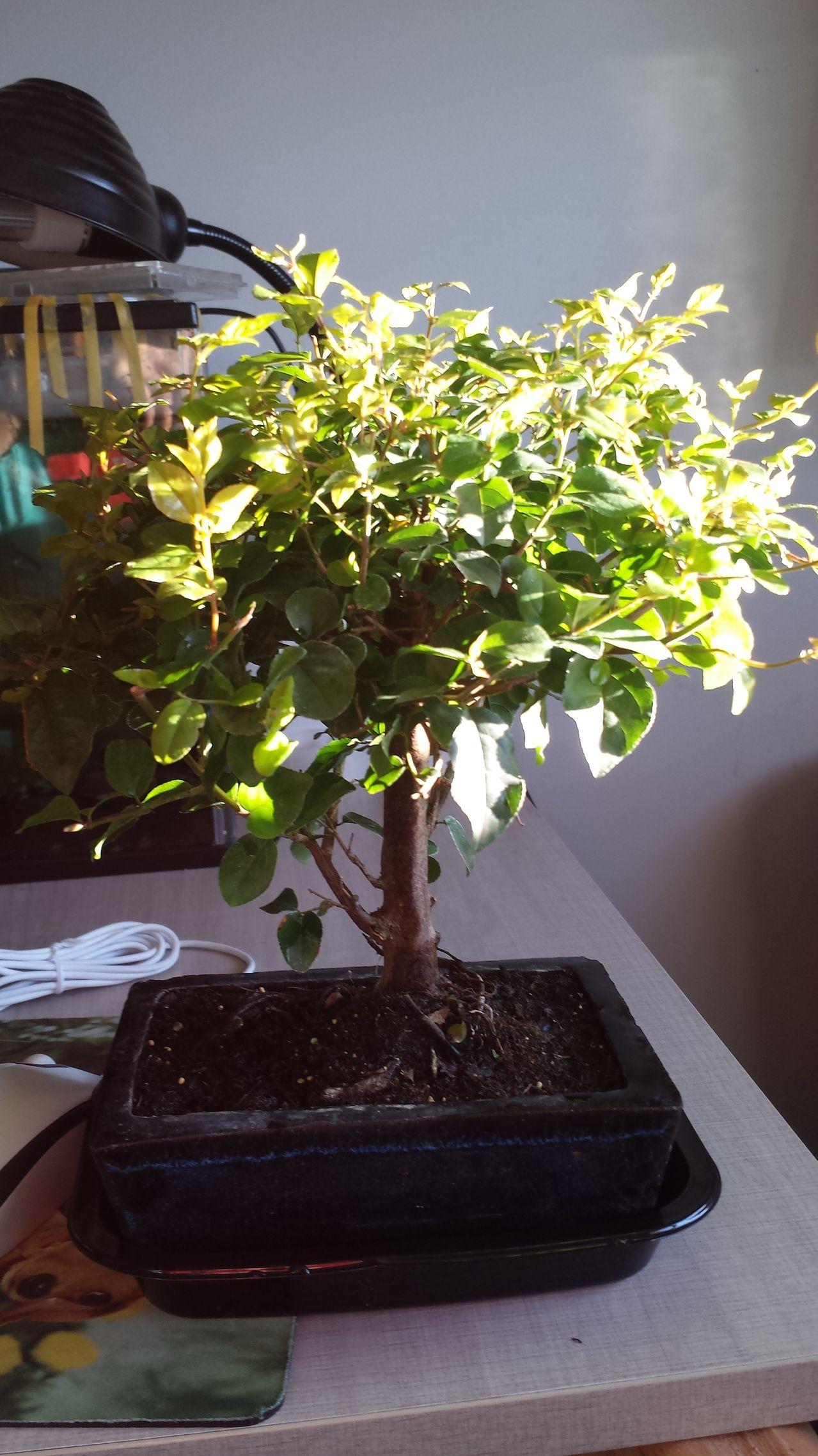 Mi primer bonsai un Sageretia Theezans (Ciruelo chino) 20150427_200244