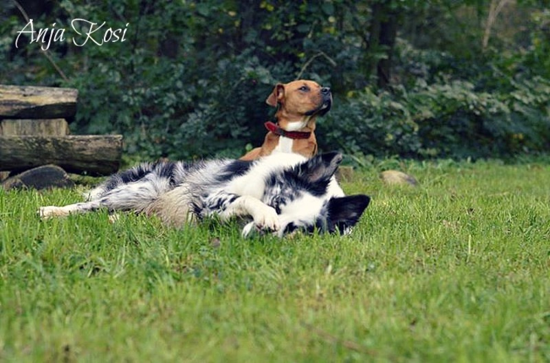 Border Collie - Page 3 10262101_972546306092736_6857087441796710944_n