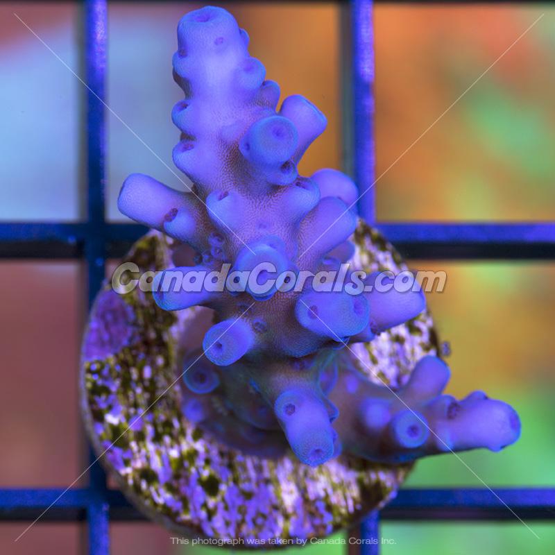 Coral In Stock  (April, 11 2014) IMG_0168