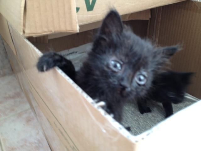 (Υιοθετήθηκαν!) 3 μαύρα γατάκια ζητούν ΑΜΕΣΑ σπιτάκι! Cat_3
