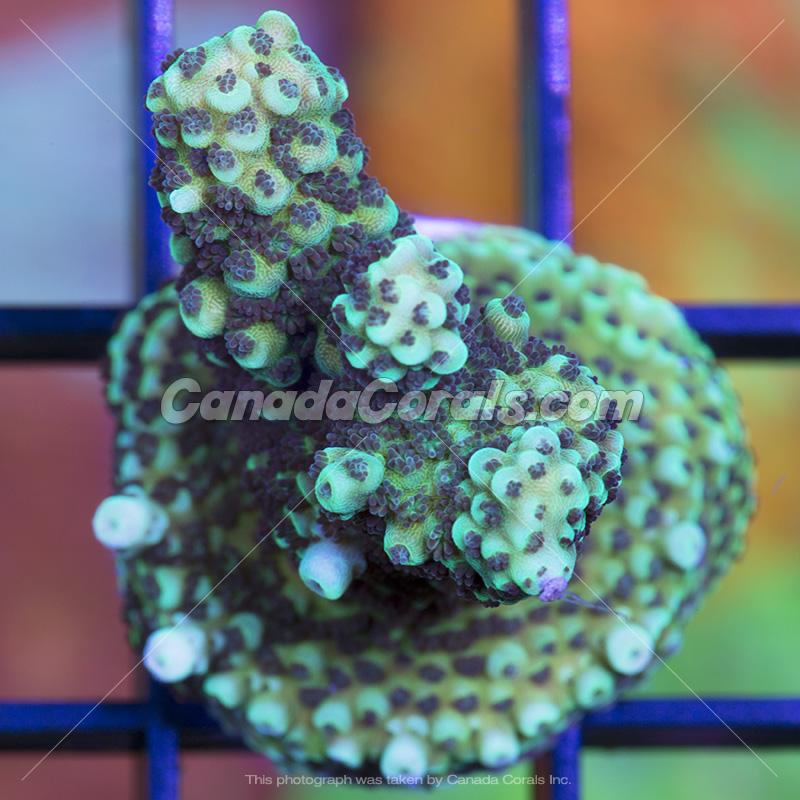 Coral In Stock  (April, 11 2014) IMG_0188