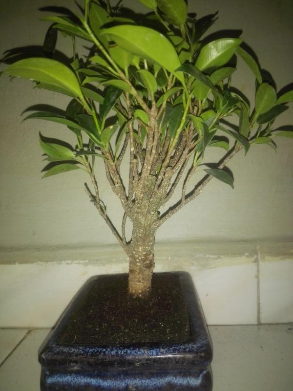 Ficus Microcarpa Tiger Bark 5 años comercial 2-07-17_4