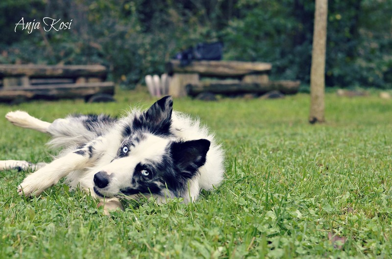 Border Collie - Page 3 10547062_972537456093621_5596627241276629558_o