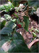 Coffea arabica - Kávovník arabský DSCF1539