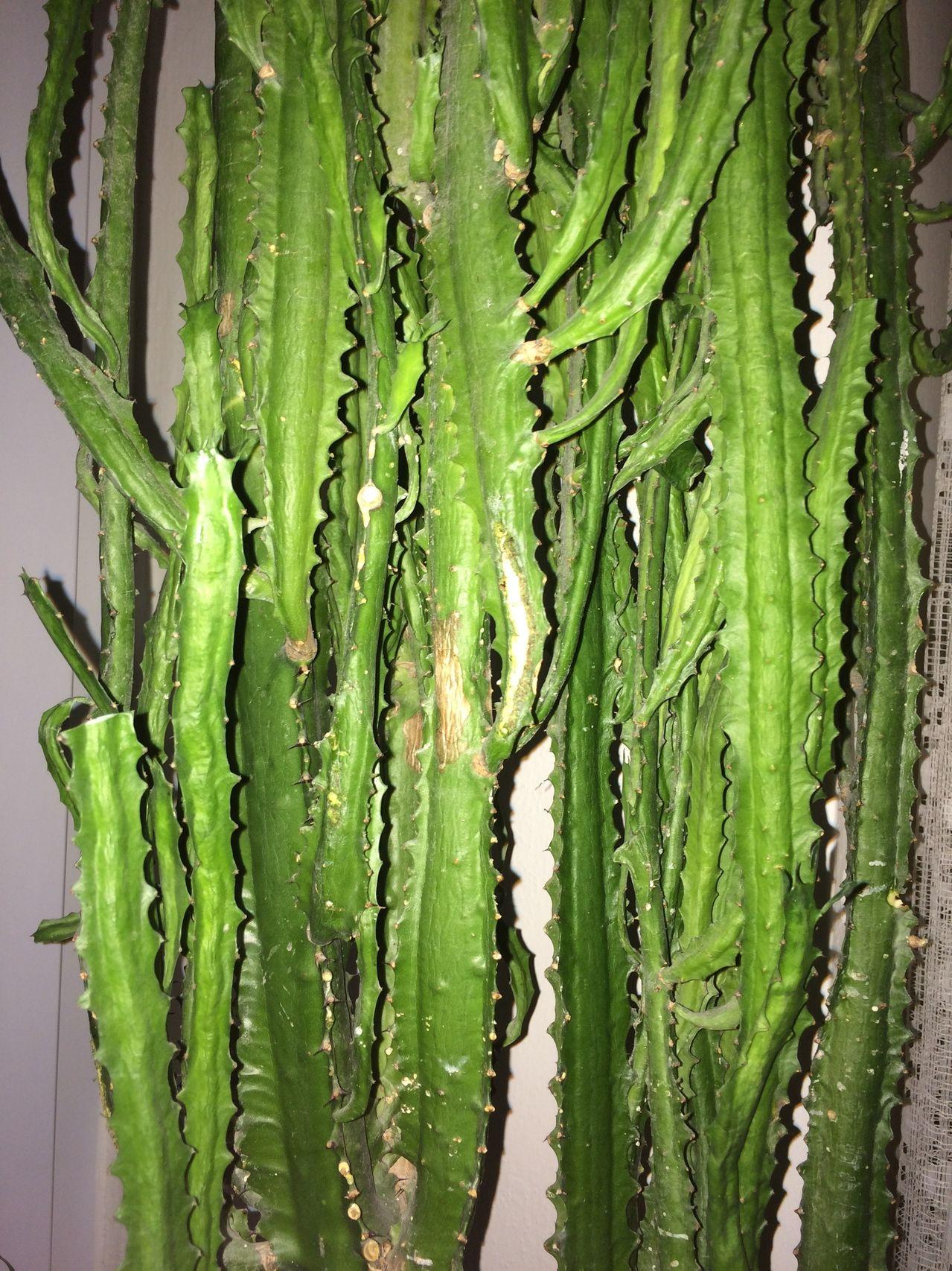 Euphorbia sp. [identification non terminée] IMG_0357