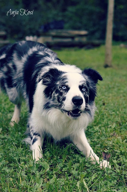 Border Collie - Page 3 1932612_972537702760263_8035180784980519174_o
