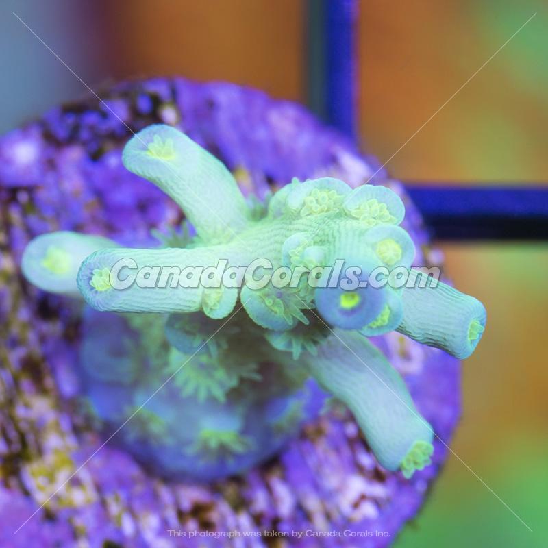 Coral In Stock  (April, 11 2014) IMG_0134