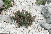 mrazuodolné opuncie - rod Opuntia IMG_7259