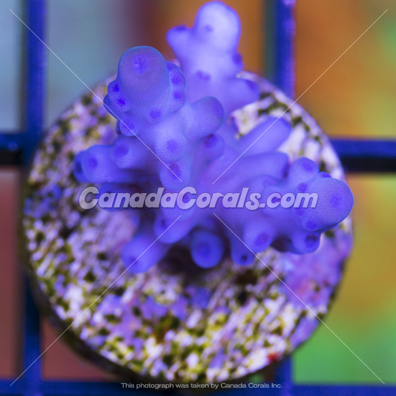 Coral In Stock  (April, 11 2014) IMG_0184