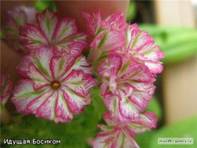 Цветочные красотки и красавцы Идущей Босиком - Страница 2 A4f2f74ee435