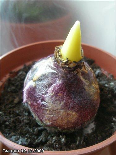 Выращивание Гиацинтов Da2395f45ce2