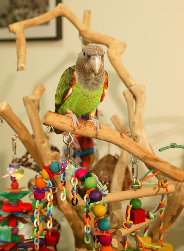 rucno hranjenje papagaja - Page 2 Truman_tree