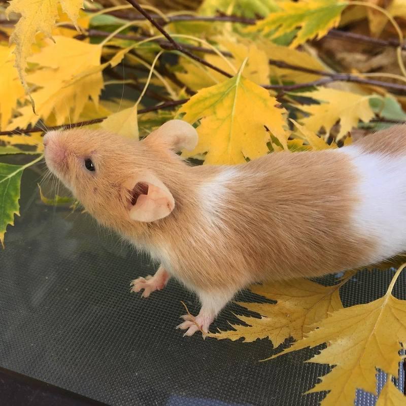 Pumpkin Mice - Updates 14533487_1703223459998107_4953165845791506432_n