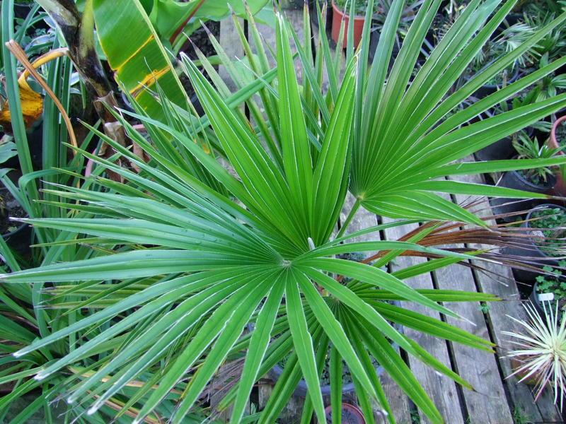 Trachycarpus latisectus DSCF3035
