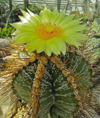 Kaktusi - Page 4 Image