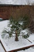 Palmy pod sněhem - Stránka 2 DSC_0012