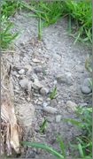 Mrazuodolné juky - rod Yucca - Stránka 2 IMG_2054