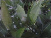 Pomerančovníky - Citrus sinensis - Stránka 2 2014_07_10_20_57_34