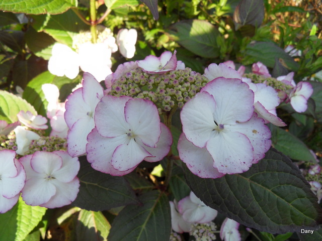 hortensia - Page 6 SDC13784_1