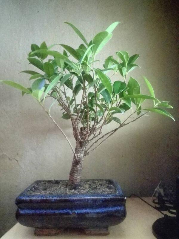 Seguimiento Ficus tigerbark (ayuda diseño) :3 Cb8915627b417322420f1fba54625871
