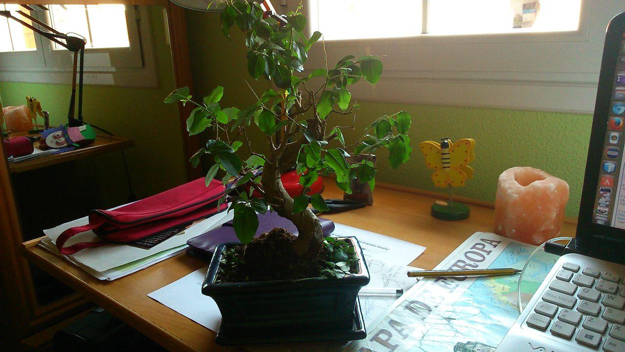 A mi bonsai se le caen las hojas verdes al tocarlas DSC_0168