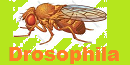 74th Amateur Series Division 7 Drosophila