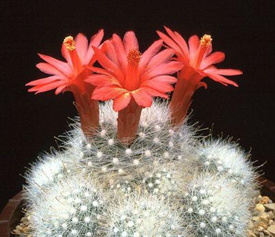 Kaktusi - Page 2 1aaaa