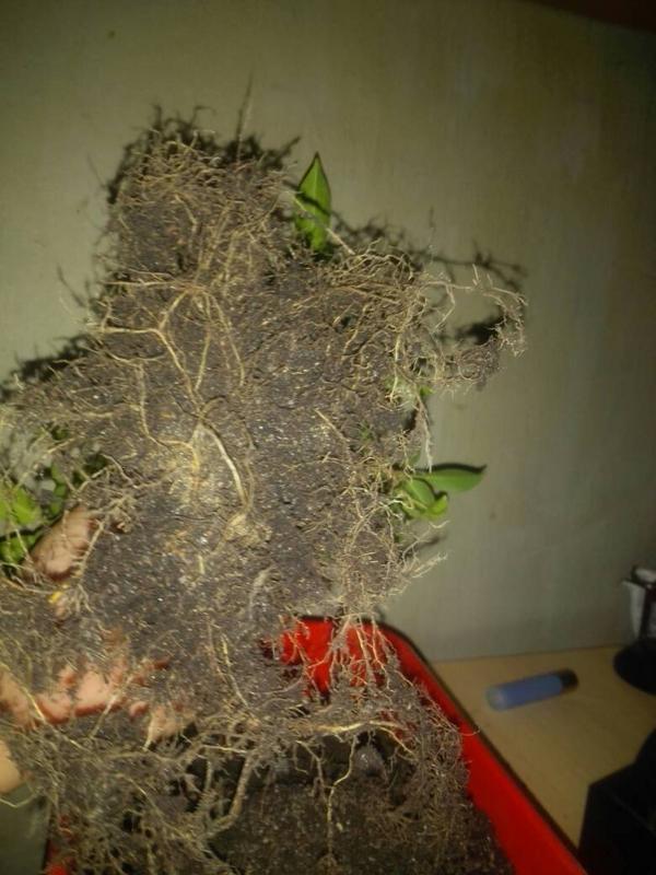 Seguimiento Ficus tigerbark (ayuda diseño) :3 8f2be462fb3b74ad0580ac6ff40f7c0b