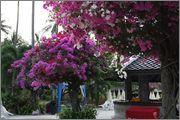 Bougainvillea B_41