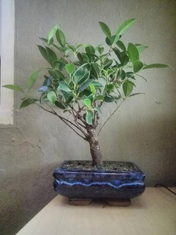 Seguimiento Ficus tigerbark (ayuda diseño) :3 9e5bdb9ac255e000e63a00b6bd8720e3