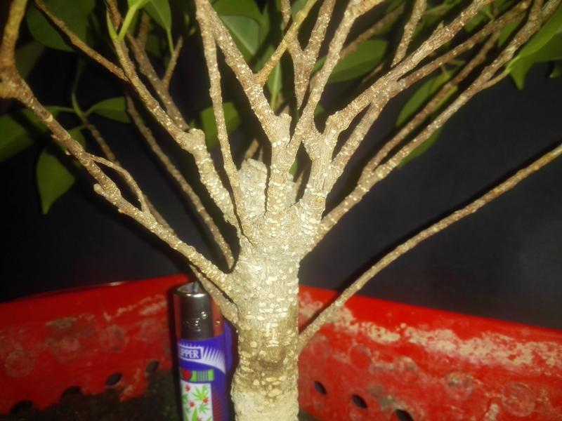 Seguimiento Ficus tigerbark (ayuda diseño) :3 IMG_20180209_011444