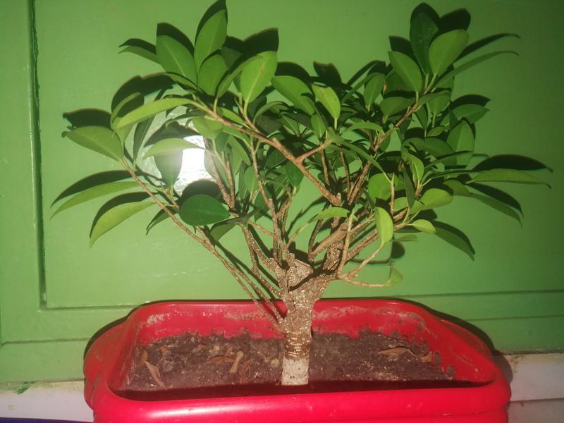 Seguimiento Ficus tigerbark (ayuda diseño) :3 IMG_20180208_220627