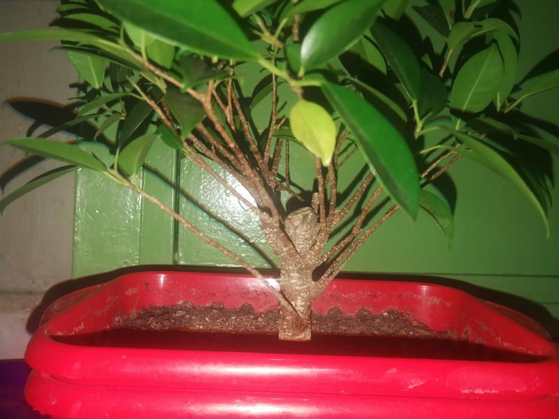 Seguimiento Ficus tigerbark (ayuda diseño) :3 IMG_20180208_220753