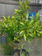 Pomerančovníky - Citrus sinensis - Stránka 3 2014_09_19_10_46_07