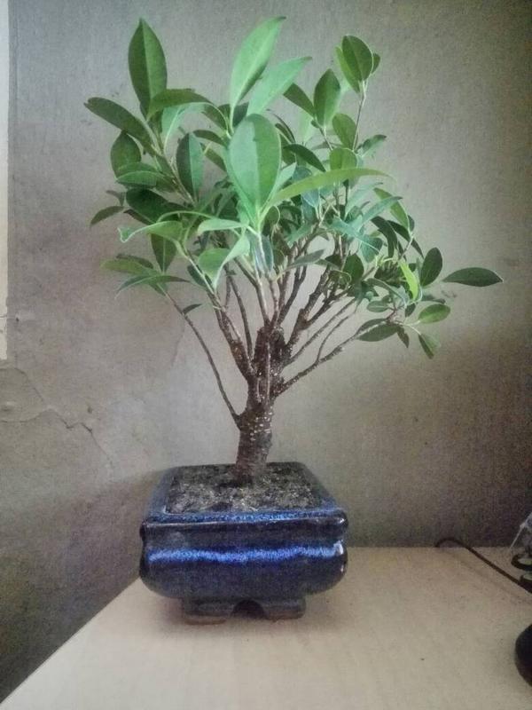 Seguimiento Ficus tigerbark (ayuda diseño) :3 84422a0613fba96b0059c0a9cea834a2