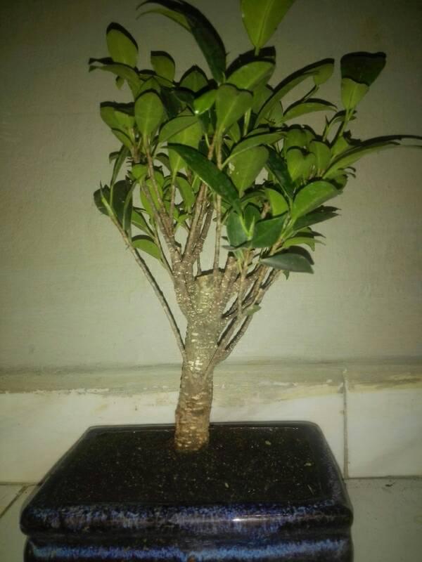 Seguimiento Ficus tigerbark (ayuda diseño) :3 4209c9e304af3427d533d79ef70228e6
