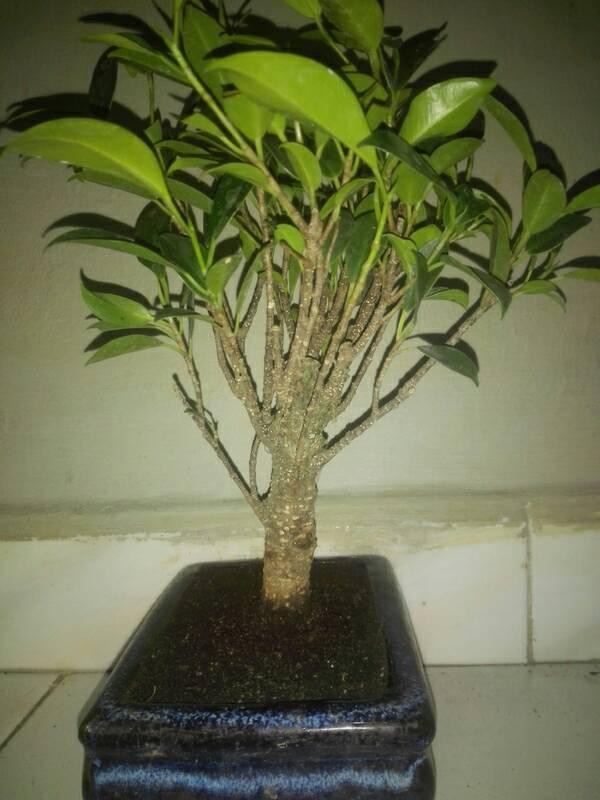Seguimiento Ficus tigerbark (ayuda diseño) :3 3c6d6797b950ff2d3fe3ed1f829a454d