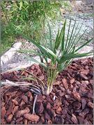 Trachycarpus ukhrulensis/oreophilus (sp. Manipur) Tr_manipur
