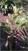 Citronečník trojlistý - Poncirus trifoliata WP_20140412_003_1