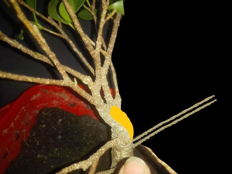 Seguimiento Ficus tigerbark (ayuda diseño) :3 Azul2