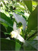 Pomerančovníky - Citrus sinensis - Stránka 2 2014_06_15_14_45_53