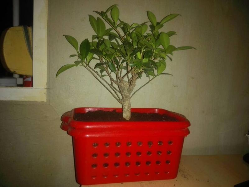 Seguimiento Ficus tigerbark (ayuda diseño) :3 Bce23b000772a8cc69c4cc7d21f2d843