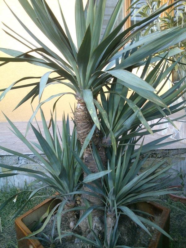 Mrazuodolné juky - rod Yucca - Stránka 10 Yucca_gloriosa