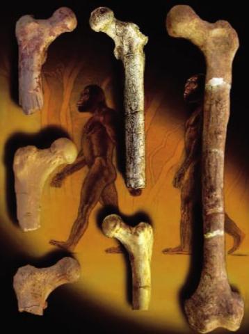 Homme Orrorin Bipède Image