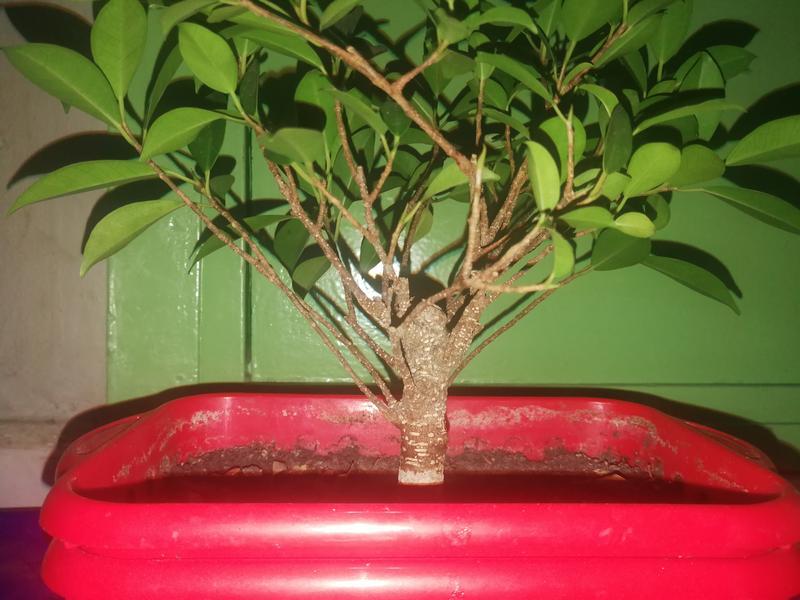 Seguimiento Ficus tigerbark (ayuda diseño) :3 IMG_20180208_220740