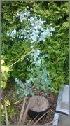 Eucalyptus WP_20150720_014