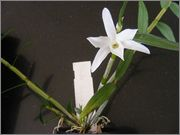 Dendrobium moniliforme Dendrobium_monoliforme