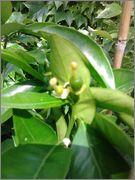 Pomerančovníky - Citrus sinensis - Stránka 2 2014_06_15_14_45_41