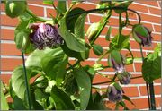 Passiflora alata DSCF0011